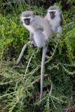 Vervet-Affe-Freunde Stockfoto