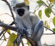 Vervet-Affe im Baum Lizenzfreies Stockbild