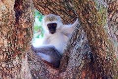 Vervet-Affe im Baum Stockbild
