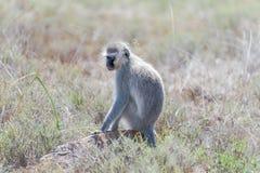 Vervet-Affe im Bergzebra-Nationalpark Lizenzfreies Stockfoto