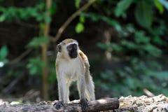 Vervet-Affe im Nationalpark von Kenia Lizenzfreie Stockbilder