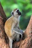 Vervet-Affe im Nationalpark von Kenia Lizenzfreie Stockfotografie