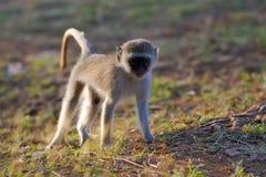 Vervet-Affe im Nationalpark von Kenia Stockbilder