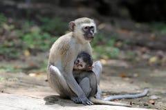 Vervet-Affe im Nationalpark von Kenia Stockbild