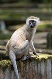 Vervet-Affe im Nationalpark von Kenia Lizenzfreies Stockfoto