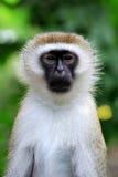 Vervet-Affe im Nationalpark von Kenia Lizenzfreie Stockfotos
