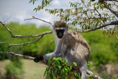 Vervet-Affe Maasai Mara National Reserve, Nationalpark Lizenzfreie Stockfotos