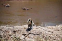 Vervet-Affe Maasai Mara National Reservek Kenya lizenzfreies stockfoto