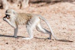 Vervet-Affe mit ausgedehntem Endstück und Lebensmittel in der Hand Lizenzfreie Stockfotos