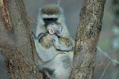 Vervet-Affe mit Baby Lizenzfreie Stockfotos