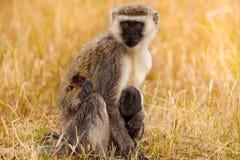 Vervet-Affe mit Baby in der trockenen Savanne von Afrika Stockbilder