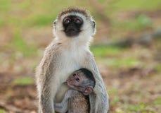 Vervet-Affe mit Babysäugling Lizenzfreie Stockbilder