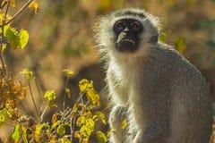 Vervet-Affe mit dem offenen Mund, der Zähne zeigt Stockfotografie
