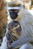 Vervet-Affe mit einem Jungen Lizenzfreies Stockfoto
