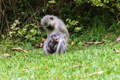 Vervet-Affe-Mutter-Baby Lizenzfreies Stockfoto