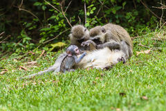 Vervet-Affe-Mutter-Baby Lizenzfreie Stockfotos