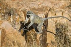 Vervet-Affe in Nationalpark Kruger, Südafrika Stockfotografie