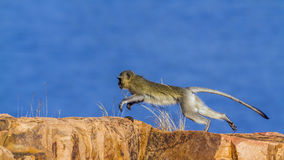 Vervet-Affe in Nationalpark Kruger, Südafrika Stockfoto