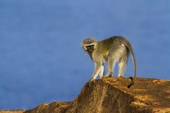Vervet-Affe in Nationalpark Kruger, Südafrika Stockbilder