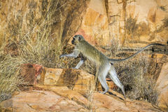 Vervet-Affe in Nationalpark Kruger, Südafrika Stockfotos