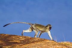 Vervet-Affe in Nationalpark Kruger, Südafrika Stockbild