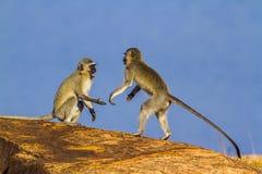 Vervet-Affe in Nationalpark Kruger, Südafrika Lizenzfreie Stockbilder