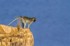 Vervet-Affe in Nationalpark Kruger, Südafrika Lizenzfreie Stockfotografie