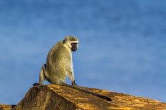 Vervet-Affe in Nationalpark Kruger, Südafrika Lizenzfreies Stockbild