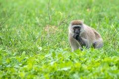 Vervet-Affe oder Chlorocebus-pygerythrus Stockbilder