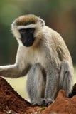 Vervet-Affe, Porträt auf dem Termitenhügel Stockfotografie
