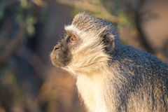 Vervet-Affe-Porträtabschluß oben mit Detail über langes Gesichtshaar Stockbilder