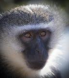 Vervet-Affe-Porträtabschluß oben mit Detail über langes Gesichtshaar Lizenzfreie Stockfotografie
