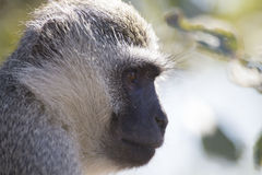 Vervet-Affe-Porträtabschluß oben mit Detail über langes Gesichtshaar Stockbild