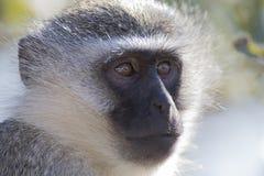 Vervet-Affe-Porträtabschluß oben mit Detail über langes Gesichtshaar Lizenzfreie Stockfotos