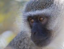 Vervet-Affe-Porträtabschluß oben mit Detail über langes Gesichtshaar Lizenzfreies Stockfoto