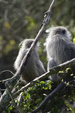 Vervet-Affe, Südafrika Lizenzfreies Stockfoto