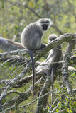 Vervet-Affe, Südafrika Lizenzfreie Stockfotografie