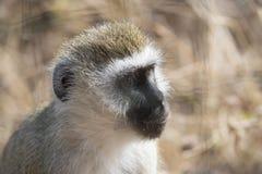 Vervet-Affe, schauend recht Stockbilder