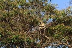 Vervet-Affe, See Naivasha, Kenia Stockfotos