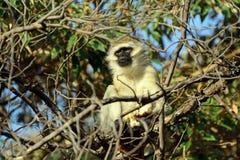 Vervet-Affe, See Naivasha, Kenia Stockbild