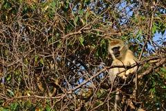 Vervet-Affe, See Naivasha, Kenia Stockbilder