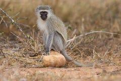 Vervet-Affe sitzen auf Felsen während Futter für Lebensmittel in der Natur Lizenzfreie Stockfotos