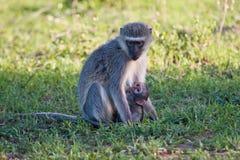 Vervet-Affe sitzen auf Gras Stockbilder