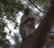 Vervet-Affe, sitzend im Baum roten Apfel essend Lizenzfreie Stockfotos
