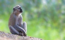 Vervet-Affe tief im Gedanken Lizenzfreie Stockfotos