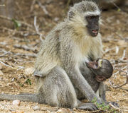 Vervet-Affe-Trinken - Nationalpark Kruger Lizenzfreies Stockfoto