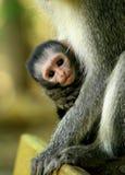 Vervet-Affebaby, das Griff in den Armen ihrer Mutter in Südafrika ist stockbild