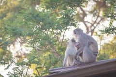 Vervet-Affefamilie Lizenzfreies Stockfoto