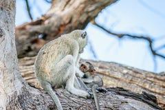 Vervet-Affefamilie, die in einem Baum sitzt Stockfoto