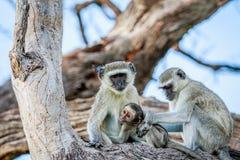 Vervet-Affefamilie, die in einem Baum sitzt Stockfotografie